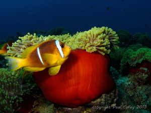 Red Sea Anemonefish by Paul Colley 